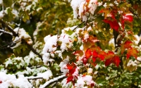 fall season with snow fall : snow fall and red leaves on a fall winter day